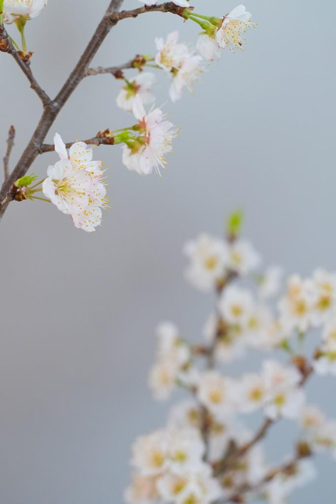 2-fb-桜-J71A0040