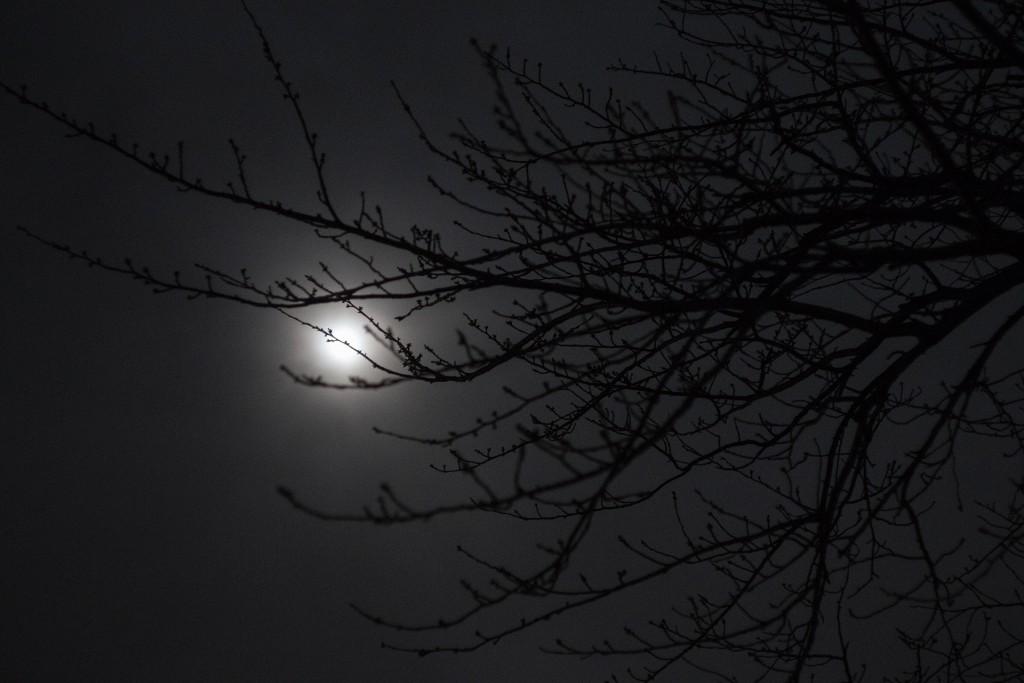 22--fb-月と桜-蕾-J71A9611