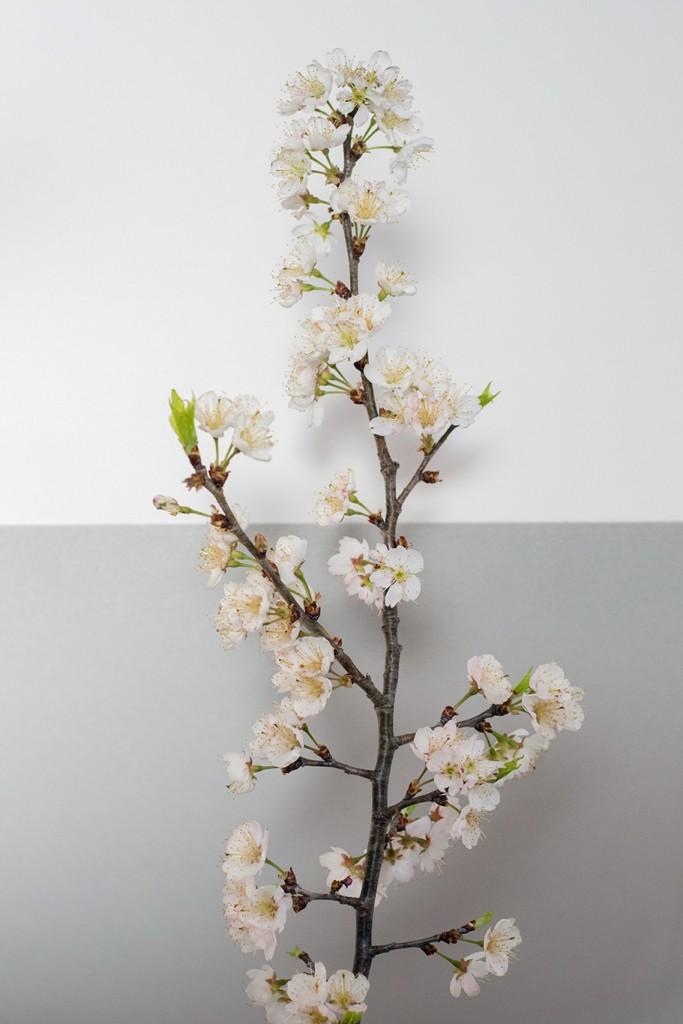 3-fb-桜-J71A0048